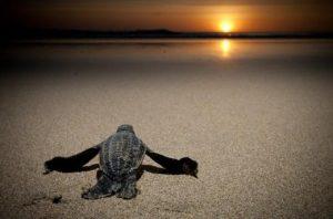 marine turtles bocas del toro