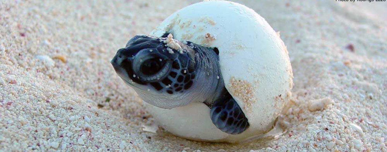 Unos amigos muy especiales visitan Bocas: las tortugas!