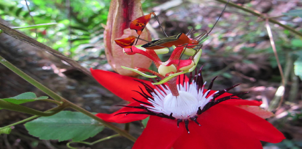 Passiflora Vitifolia with flag bug   photo by Bew Moore for Finca Los Monos